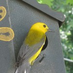 Prothonotary Warbler Feeding Young in Birdhouse at Lake Quivira