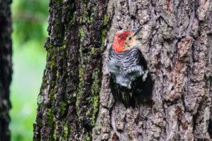 0616 bird baby woodpecker by Dieter KInner
