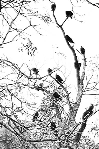 1119 feature vultures in tree bw sized